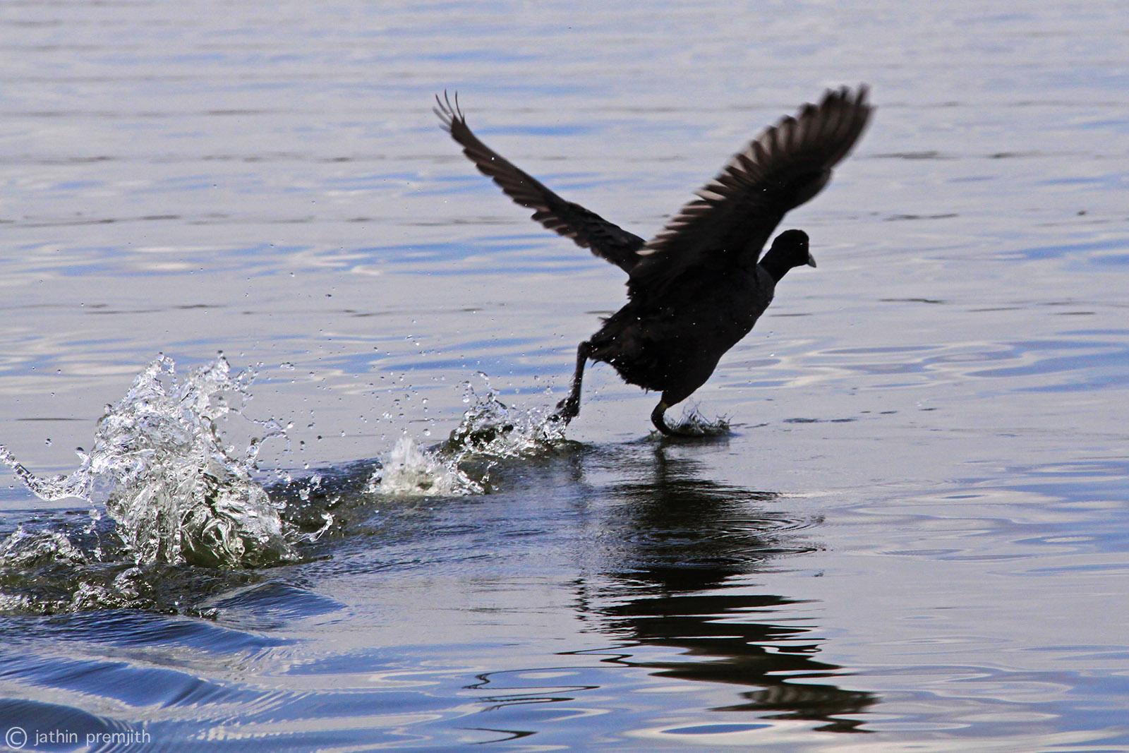 WATER FOWL, Lake Naiwasha