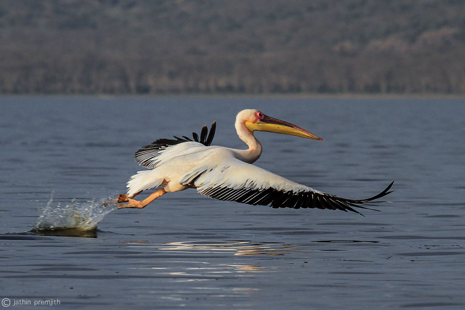 PELICAN, Lake Nakuru