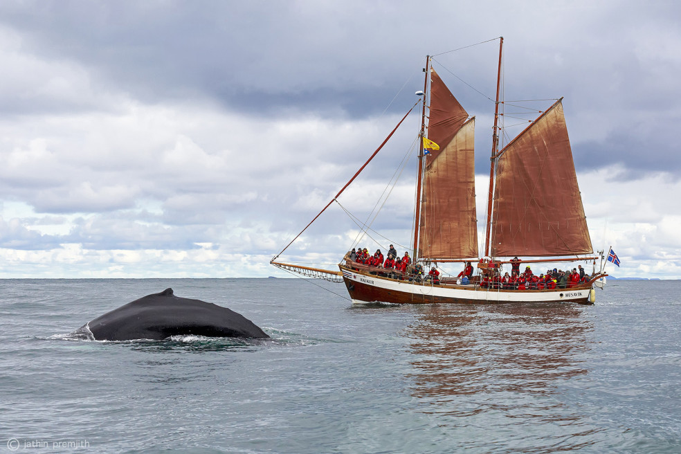 Humpback Whales, Norwegian Sea